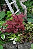 Roter Ahorn zwischen Grünpflanzen im Garten
