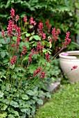 Heuchera in garden