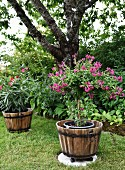 Purple-flowering shrub in planter in garden