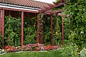 Flowerbed in front of tomato plants in climber-covered veranda next to wooden pergola painted rusty red
