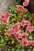 Pink-flowering Alpine plant in garden