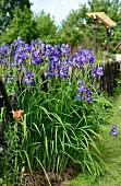 Iris growing next to garden fence