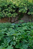Various foliage plants in front of climber-covered garden wall