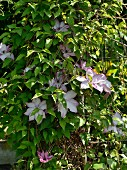 Clematis with pale pink flowers