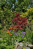 Red maple, tiger lilies and Himalayan cranesbill in summery garden
