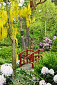 Laburnum next to wooden bridge in landscaped garden with white and purple rhododendrons