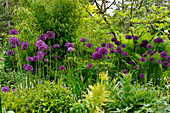 Flowering alliums amongst perennial, ferns and bamboo