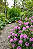 Purple-flowering rhododendron next to gravel path in landscaped garden