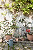 Planters and zinc watering can on floor in front of climber-covered courtyard wall