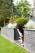 Dog on steps between low walls leading to terrace in summery garden