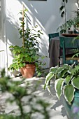 Potted foliage plants, table and petrol blue wooden chairs on veranda