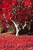 Baum mit rot verfärbten Herbstblättern