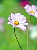 Flowering cosmos in garden