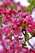 Branch of pink crab apple blossom