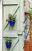 Roses in blue plant pots attached to old, green board door