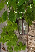 Wall-mounted lantern surrounded by climbing plants on rendered façade
