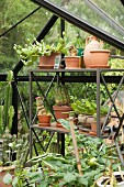 Collection of cacti in terracotta pots on metal shelves in greenhouse