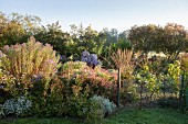 Groups of asters, grasses and shrubs on sunny autumn day in herbaceous border in rural nursery
