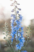 Single delphinium spike in delicate blue