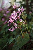 Autumn-flowering perennial with pale pink flowers (Begonia grandis ssp. evansiana)