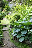 Hosta and clipped box balls in sunny garden