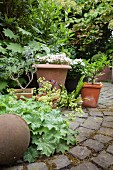 Corydalis and flowering plants in terracotta pots on paved surface in garden
