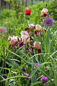 Flowering iris, alliums and poppies in garden