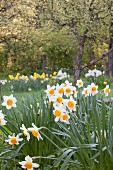 White daffodils with yellow centres in garden