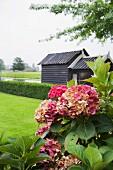 Hydrangeas in garden
