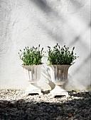 Lavender in white planters against white façade