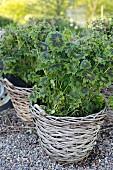 Geraniums planted in wicker basket