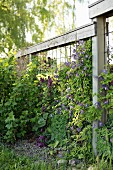 Purple-flowering clematis growing on trellising with wooden frame