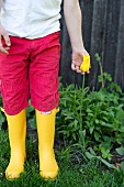 Child wearing red trousers and yellow wellies stood next to yellow tulip (variety 'West point')
