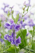 Purple-flowering sweet pea (Lathyrus odoratus)
