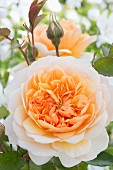 Apricot rose in garden