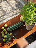 Harvested fruit and vegetables next to potted basil on rusty metal table