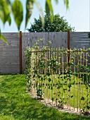 Zaun aus Rankstäben mit Kletterpflanzen in sonnenbeschienenem Garten