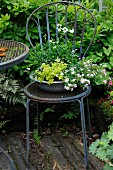 Bowl planted with bacopa and pennycress on metal chair in garden