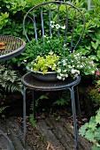 Schale mit Schneeflockenblume und Ackerhellerkraut auf Metallstuhl im Garten