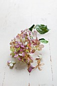 Dried hydrangea flower with leaves on white wooden surface