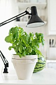 Basil in white pot on table