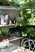 Gardening utensils and potted plants on shelving surrounded by vine in greenhouse