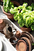 Potted basil and terracotta pot saucers in container