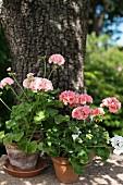 Pink-flowering geraniums in terracotta pots in garden
