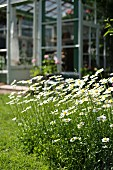 Flowers ox-eye daisies in garden