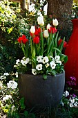 White & red tulips and white violas in planter in spring garden