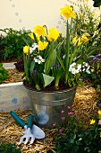 Planted arrangement of narcissus, tulips, hyacinths & primulas