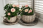 Mini rosebushes in wicker, cup-shaped planters