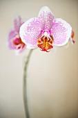 Bicolour orchid flowers on stem