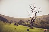Knorriger Baum und Schafe auf Wiese vor hügeliger Landschaft